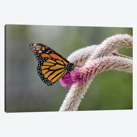 Close-Up Of Monarch Butterfly (Danaus Plexippus) Pollinating Flowers, Florida, USA I Canvas Print #PIM14457} by Panoramic Images Art Print