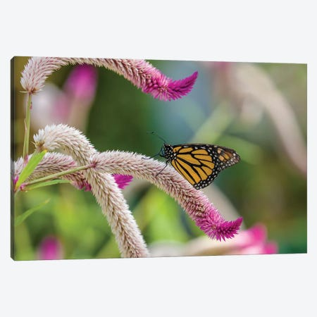 Close-Up Of Monarch Butterfly (Danaus Plexippus) Pollinating Flowers, Florida, USA II Canvas Print #PIM14458} by Panoramic Images Canvas Wall Art