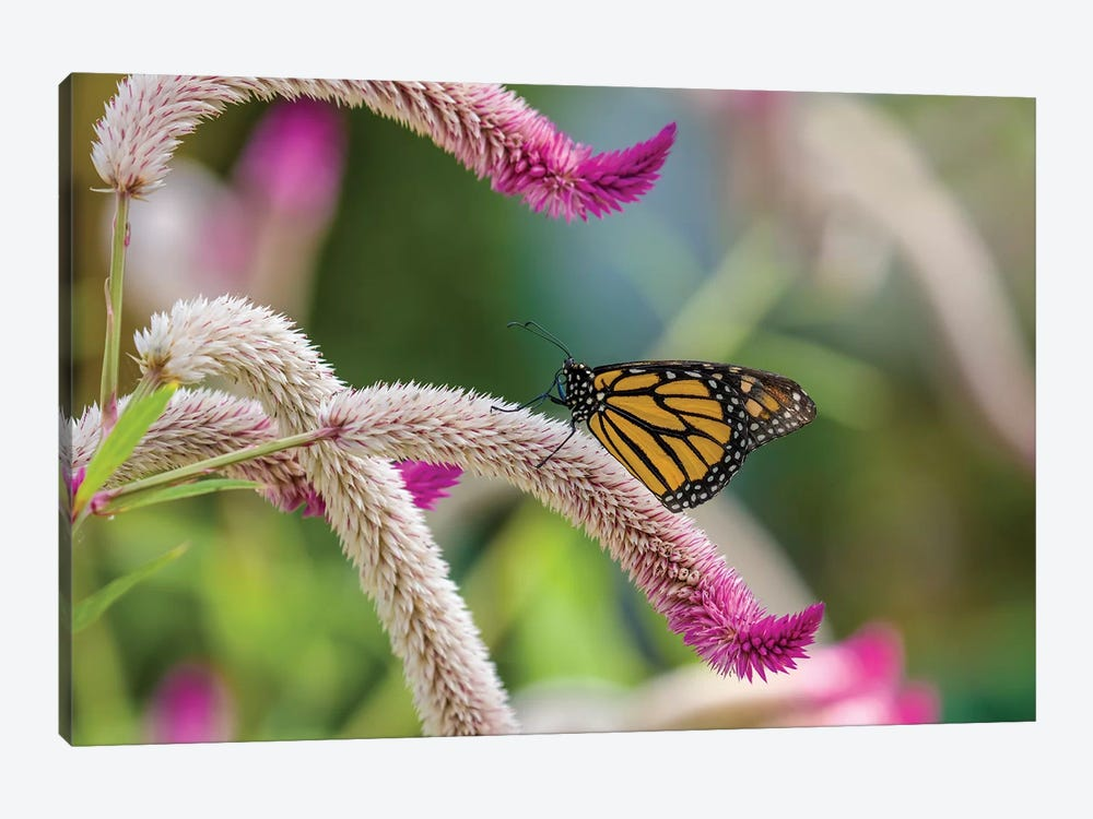 Close-Up Of Monarch Butterfly (Danaus Plexippus) Pollinating Flowers, Florida, USA II by Panoramic Images 1-piece Canvas Artwork