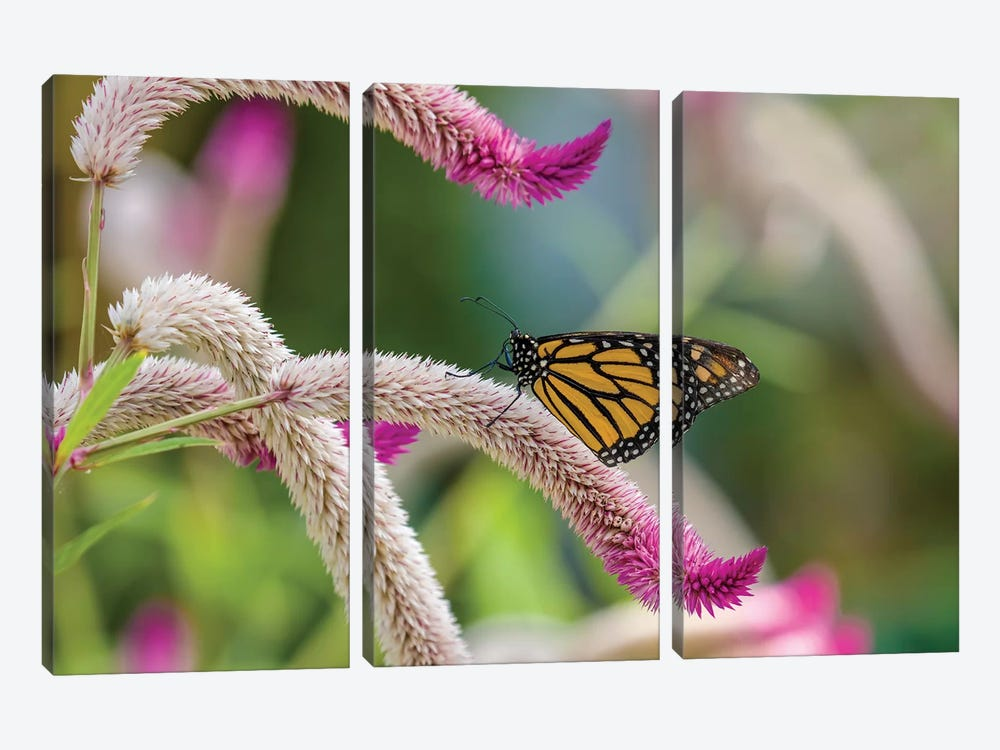 Close-Up Of Monarch Butterfly (Danaus Plexippus) Pollinating Flowers, Florida, USA II by Panoramic Images 3-piece Canvas Artwork