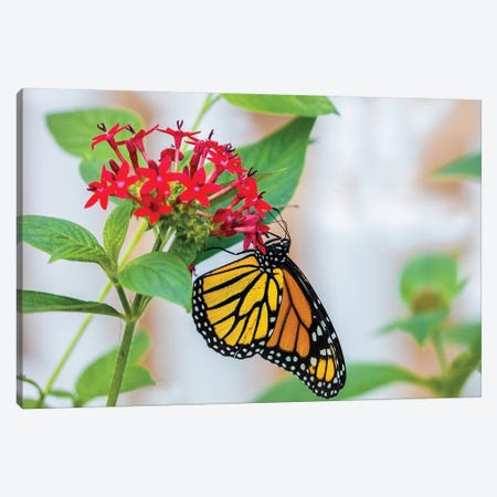 Close-Up Of Monarch Butterfly (Danaus Plexippus) Pollinating Flowers, Florida, USA III Canvas Print #PIM14459} by Panoramic Images Canvas Artwork