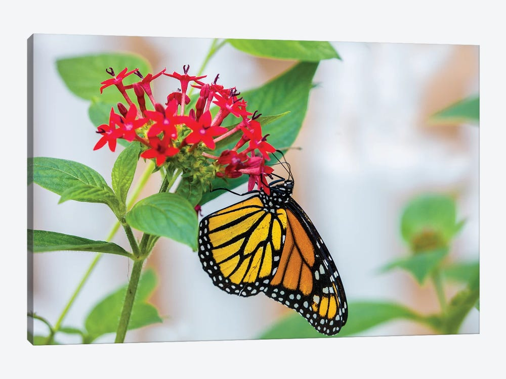 Close-Up Of Monarch Butterfly (Danaus Plexippus) Pollinating Flowers, Florida, USA III by Panoramic Images 1-piece Canvas Art Print