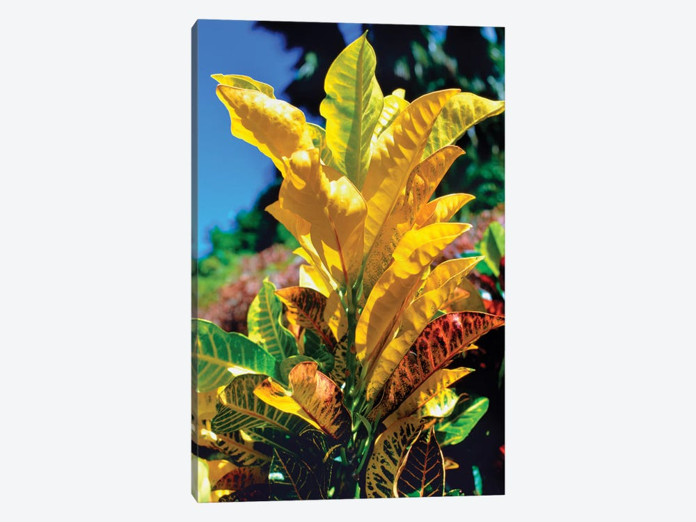 Close-Up Of Multi-Colored Leaves, Tahiti, French Polynesia 1-piece Canvas Wall Art