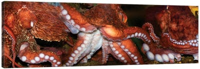 Close-Up Of Octopus Canvas Art Print