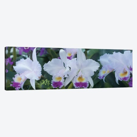 Close-Up Of Orchid Flowers I Canvas Print #PIM14466} by Panoramic Images Canvas Wall Art