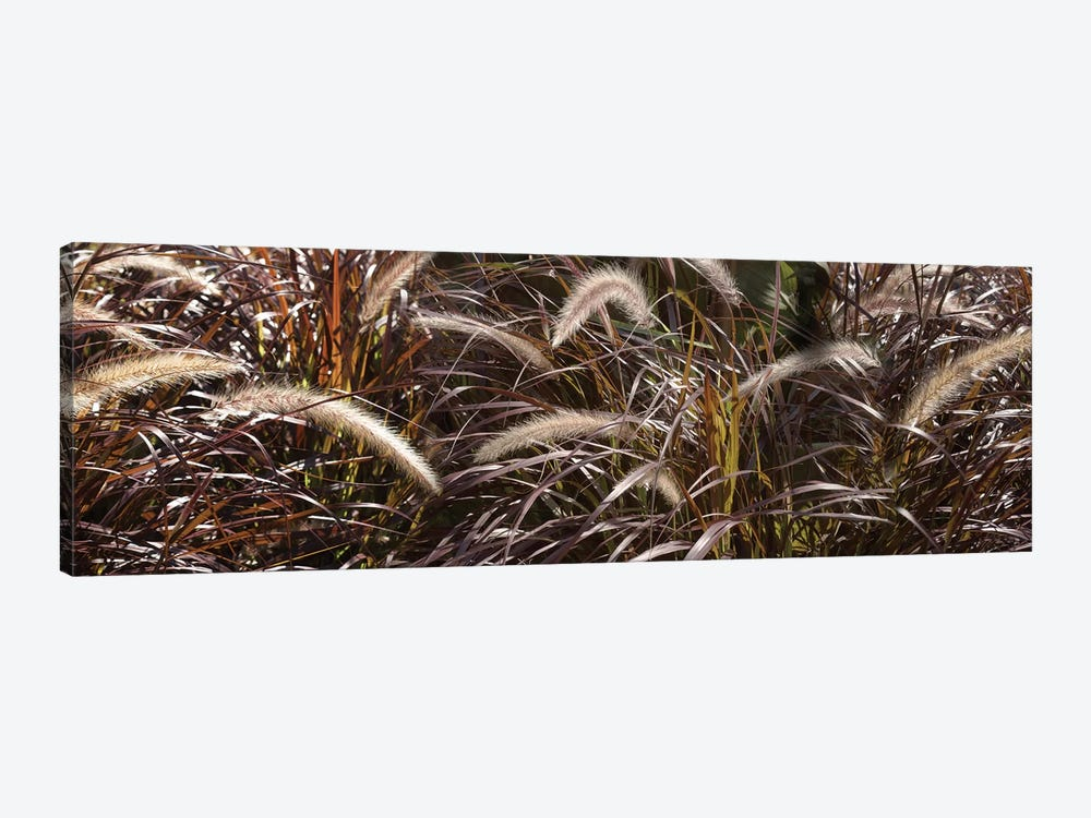 Close-Up Of Ornamental Grass by Panoramic Images 1-piece Canvas Art