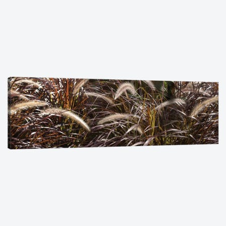 Close-Up Of Ornamental Grass Canvas Print #PIM14470} by Panoramic Images Canvas Artwork