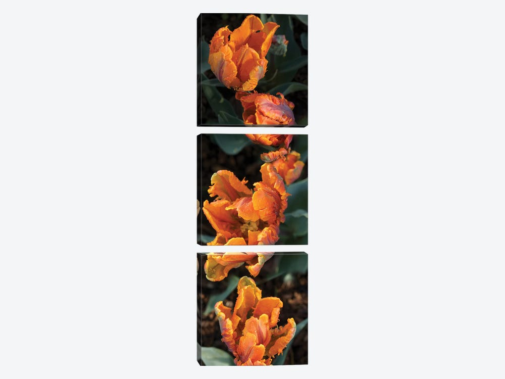 Close-Up Of Parrot Tulip Flowers by Panoramic Images 3-piece Art Print