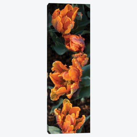 Close-Up Of Parrot Tulip Flowers Canvas Print #PIM14471} by Panoramic Images Canvas Wall Art