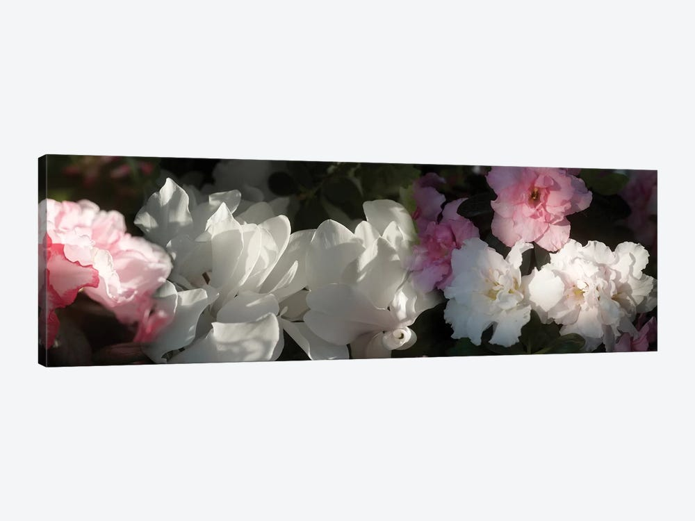 Close-Up Of Pink And White Flowers by Panoramic Images 1-piece Canvas Artwork