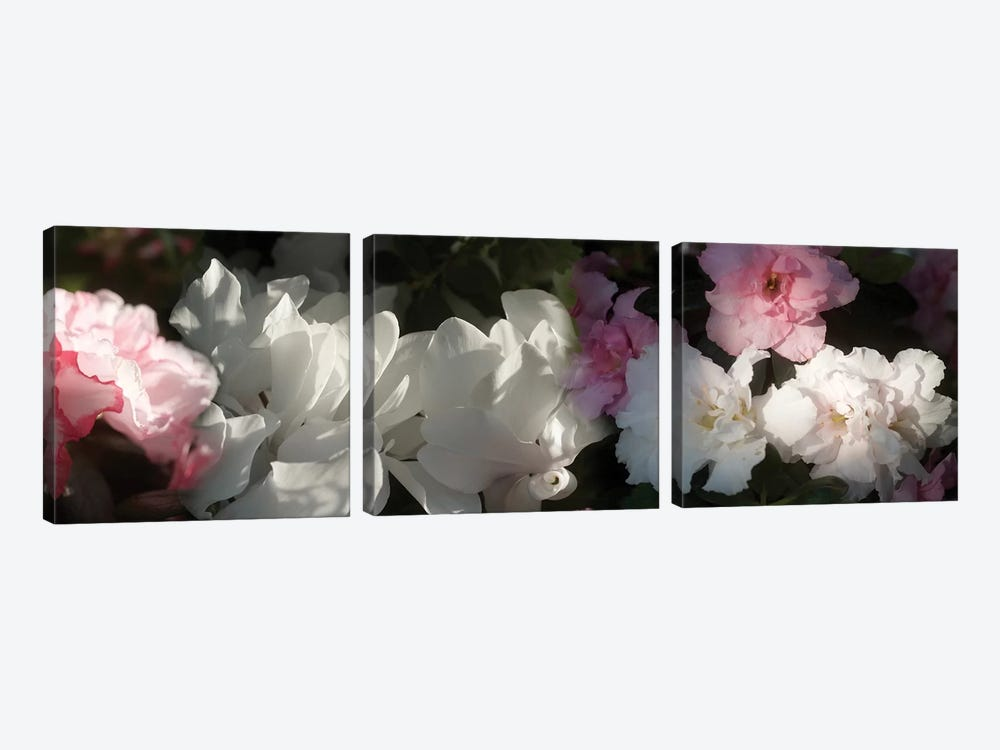 Close-Up Of Pink And White Flowers by Panoramic Images 3-piece Canvas Art