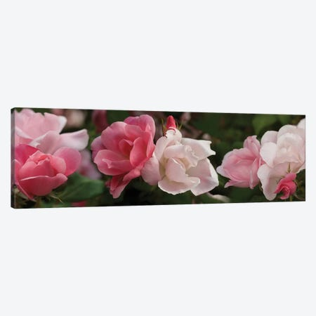 Close-Up Of Pink And White Roses Canvas Print #PIM14473} by Panoramic Images Canvas Art