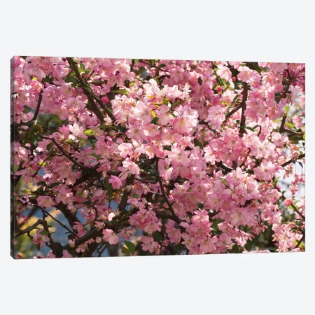 Close-Up Of Pink Cherry Blossom Flowers, Imperial Garden, Tokyo, Japan I Canvas Print #PIM14474} by Panoramic Images Art Print