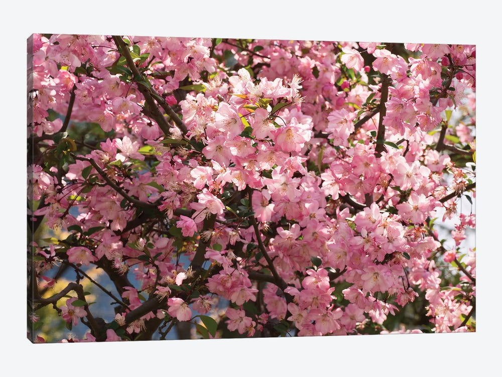 Close-Up Of Pink Cherry Blossom Flowers, Imperial Garden, Tokyo, Japan I by Panoramic Images 1-piece Canvas Art