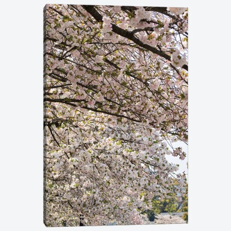 Close-Up Of Pink Cherry Blossom Flowers, Imperial Garden, Tokyo, Japan II Canvas Print #PIM14475} by Panoramic Images Art Print