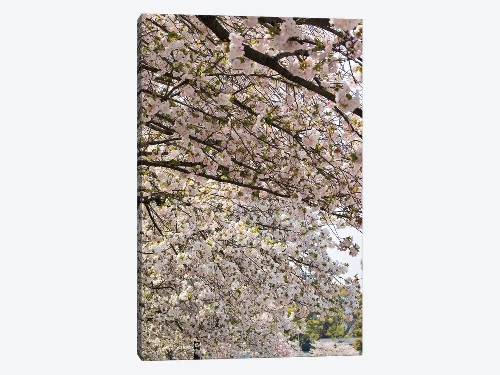 Close-Up Of Pink Cherry Blossom Flowers, Imperial Garden, Tokyo, Japan II by Panoramic Images 1-piece Art Print