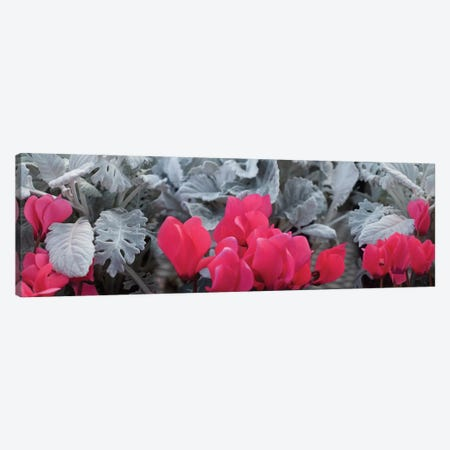 Close-Up Of Pink Cyclamen And Silver Dust Leaves Canvas Print #PIM14476} by Panoramic Images Canvas Art Print