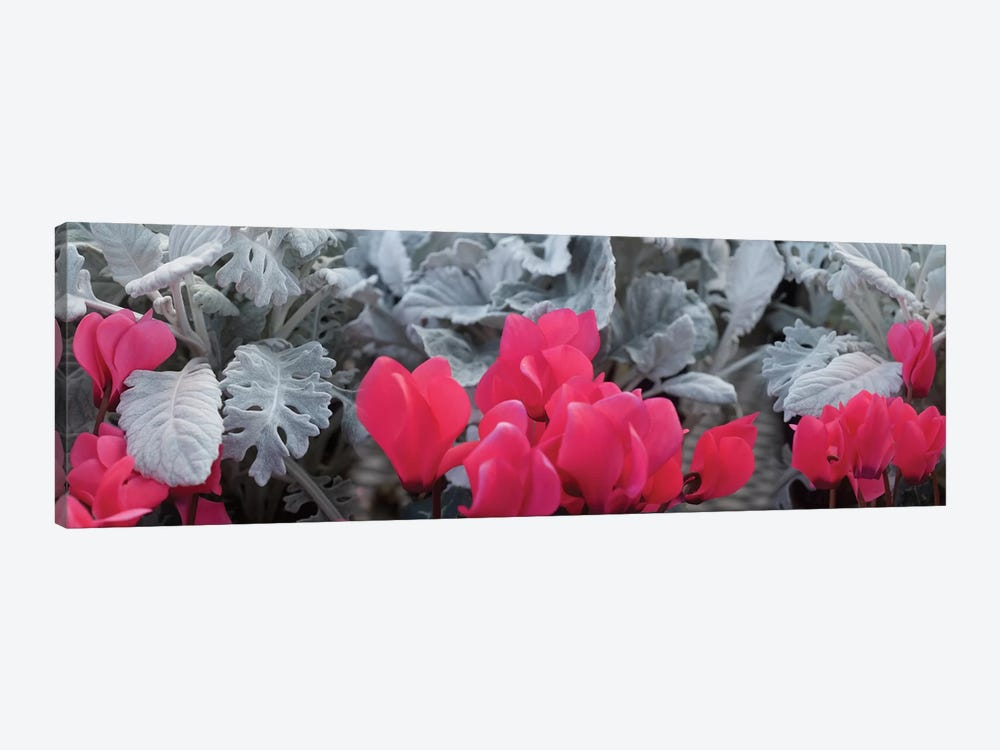 Close-Up Of Pink Cyclamen And Silver Dust Leaves by Panoramic Images 1-piece Canvas Art