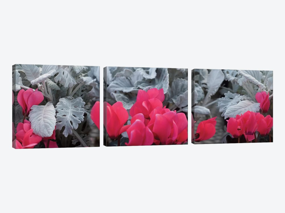Close-Up Of Pink Cyclamen And Silver Dust Leaves by Panoramic Images 3-piece Canvas Art