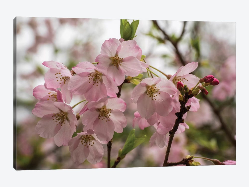 Close-Up Of Pink Flowers In Bloom, Hiraizumi, Iwate Prefecture, Japan by Panoramic Images 1-piece Canvas Art