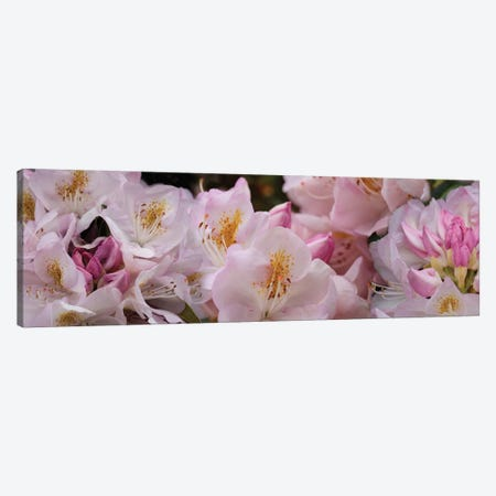 Close-Up Of Pink Rhododendron Flowers Canvas Print #PIM14479} by Panoramic Images Canvas Wall Art