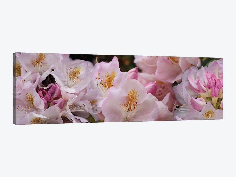 Close-Up Of Pink Rhododendron Flowers by Panoramic Images 1-piece Art Print