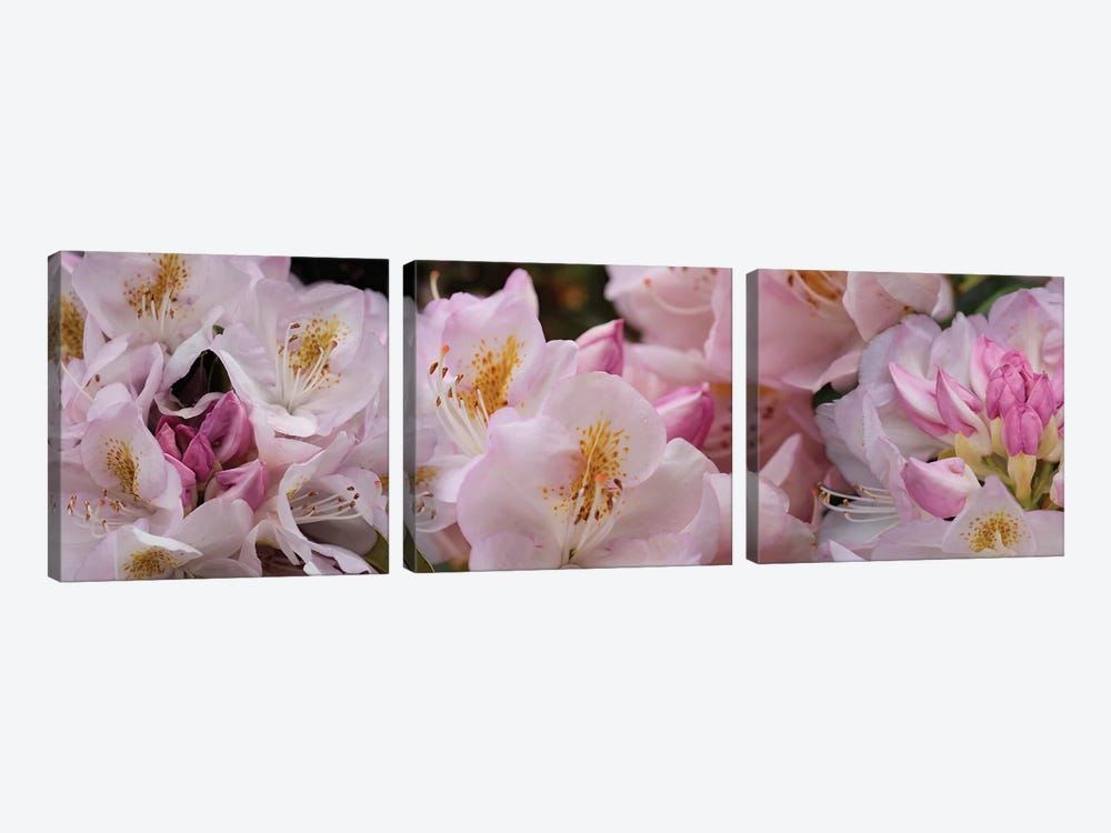 Close-Up Of Pink Rhododendron Flowers by Panoramic Images 3-piece Canvas Print