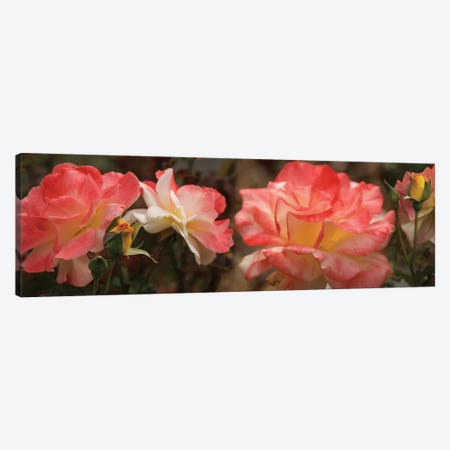 Close-Up Of Pink Rose Flowers Canvas Print #PIM14480} by Panoramic Images Art Print