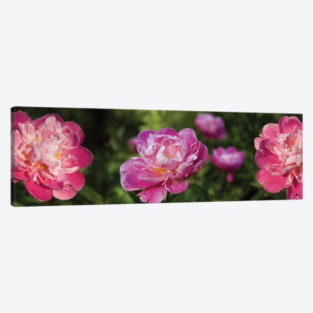 Close-Up Of Pink Roses Canvas Print #PIM14481} by Panoramic Images Canvas Print