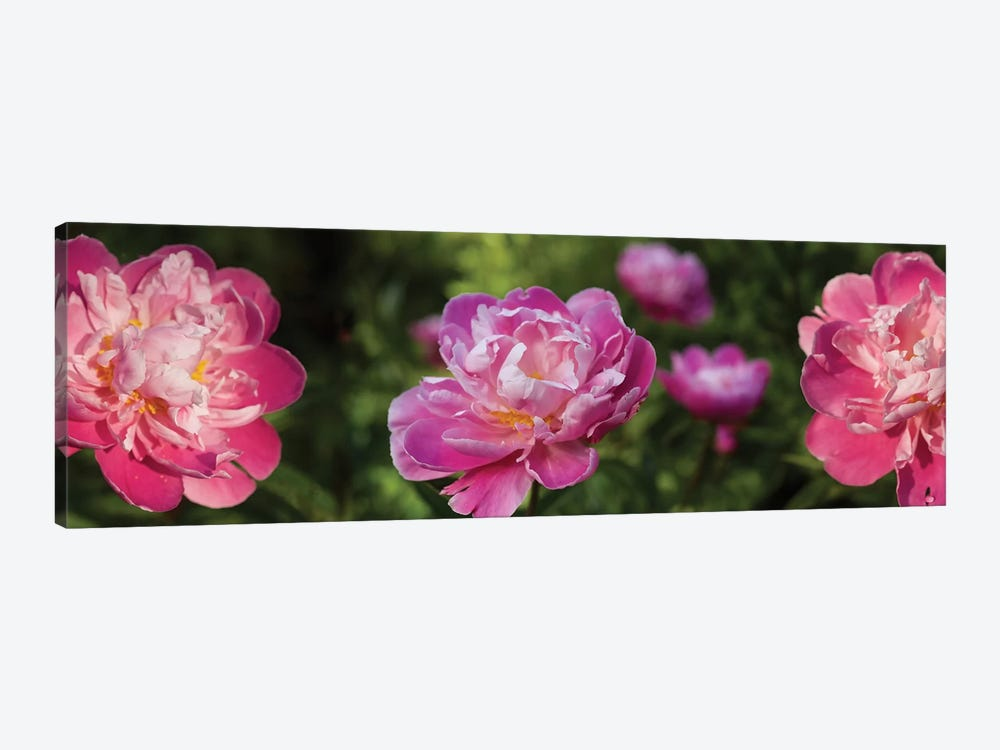 Close-Up Of Pink Roses by Panoramic Images 1-piece Canvas Wall Art