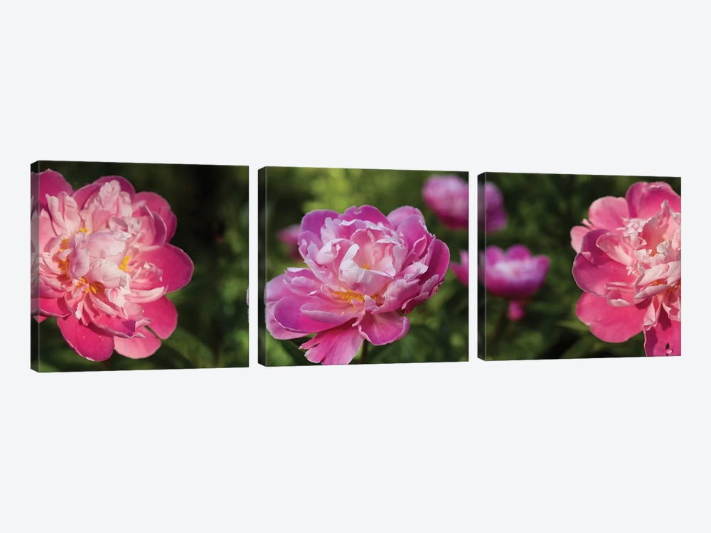 Close-Up Of Pink Roses by Panoramic Images 3-piece Canvas Artwork