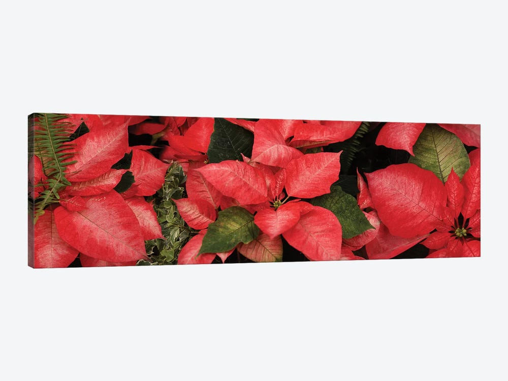 Close-Up Of Poinsettia Flowers I by Panoramic Images 1-piece Canvas Print