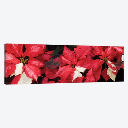 Close-Up Of Poinsettia Flowers II Canvas Print #PIM14485} by Panoramic Images Canvas Artwork