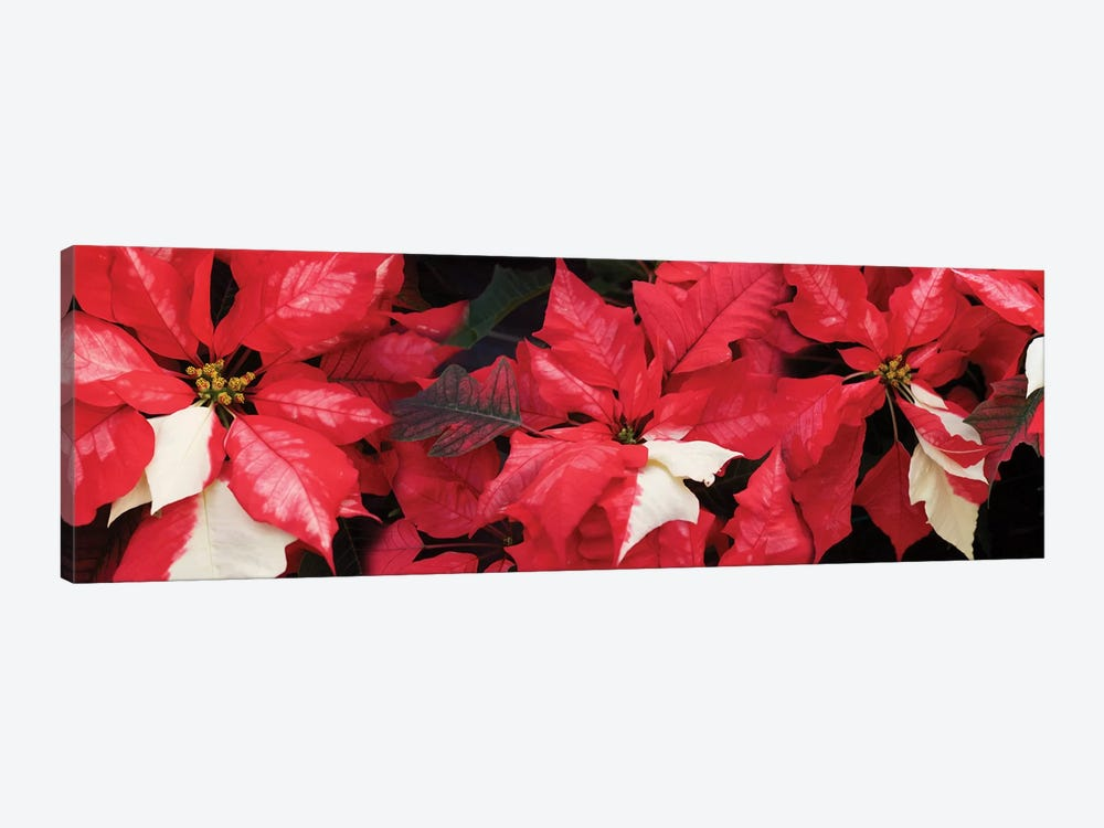 Close-Up Of Poinsettia Flowers II by Panoramic Images 1-piece Canvas Artwork