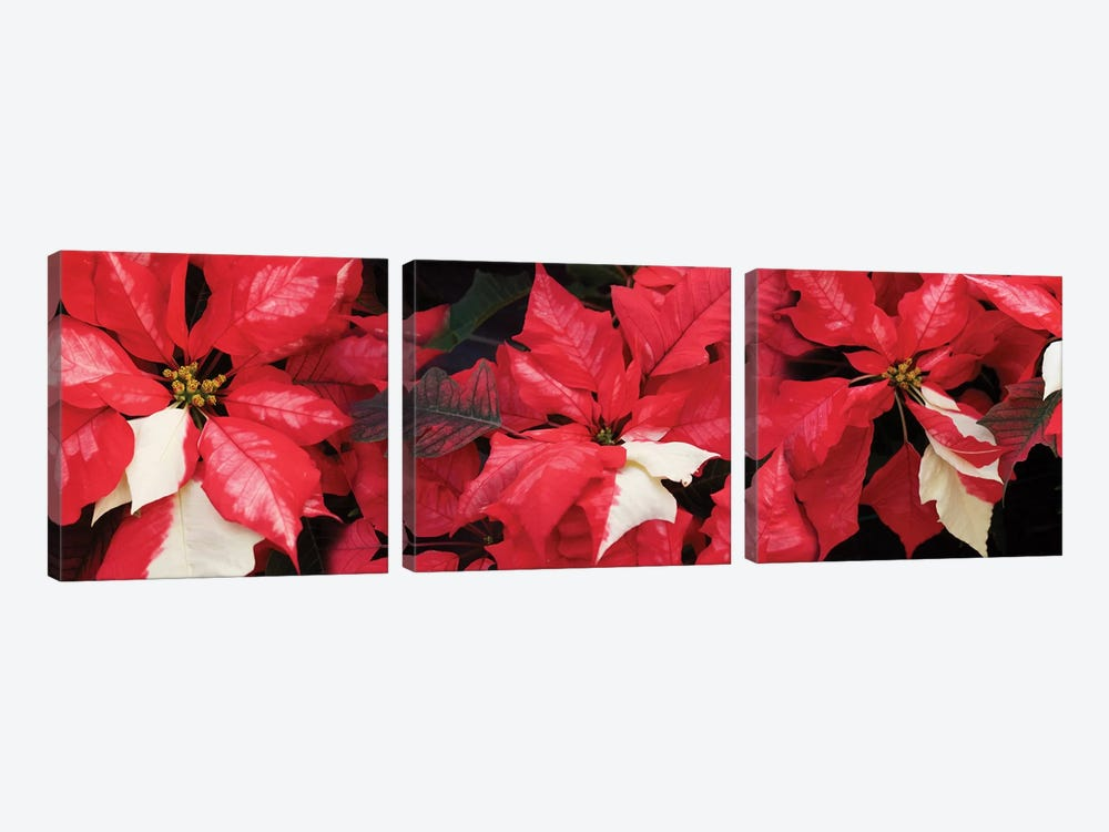 Close-Up Of Poinsettia Flowers II by Panoramic Images 3-piece Canvas Wall Art