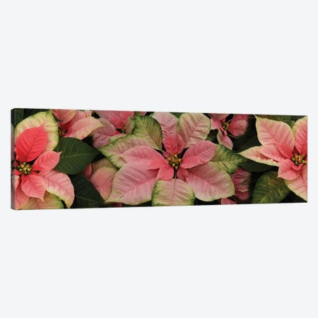 Close-Up Of Poinsettia Flowers III Canvas Print #PIM14486} by Panoramic Images Canvas Artwork
