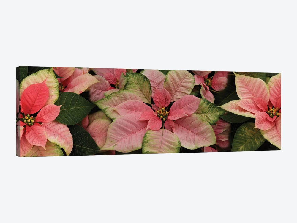 Close-Up Of Poinsettia Flowers III by Panoramic Images 1-piece Art Print