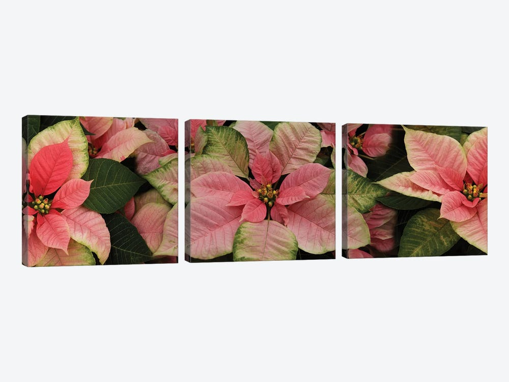Close-Up Of Poinsettia Flowers III by Panoramic Images 3-piece Art Print
