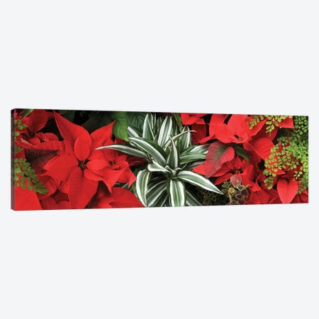 Close-Up Of Poinsettia Flowers IV Canvas Print #PIM14487} by Panoramic Images Canvas Wall Art