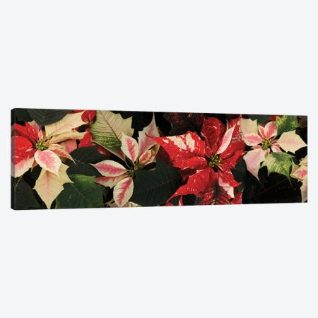 Close-Up Of Poinsettia Flowers V Canvas Print #PIM14488} by Panoramic Images Canvas Art Print