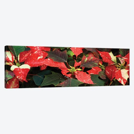 Close-Up Of Poinsettia Flowers VI Canvas Print #PIM14489} by Panoramic Images Art Print