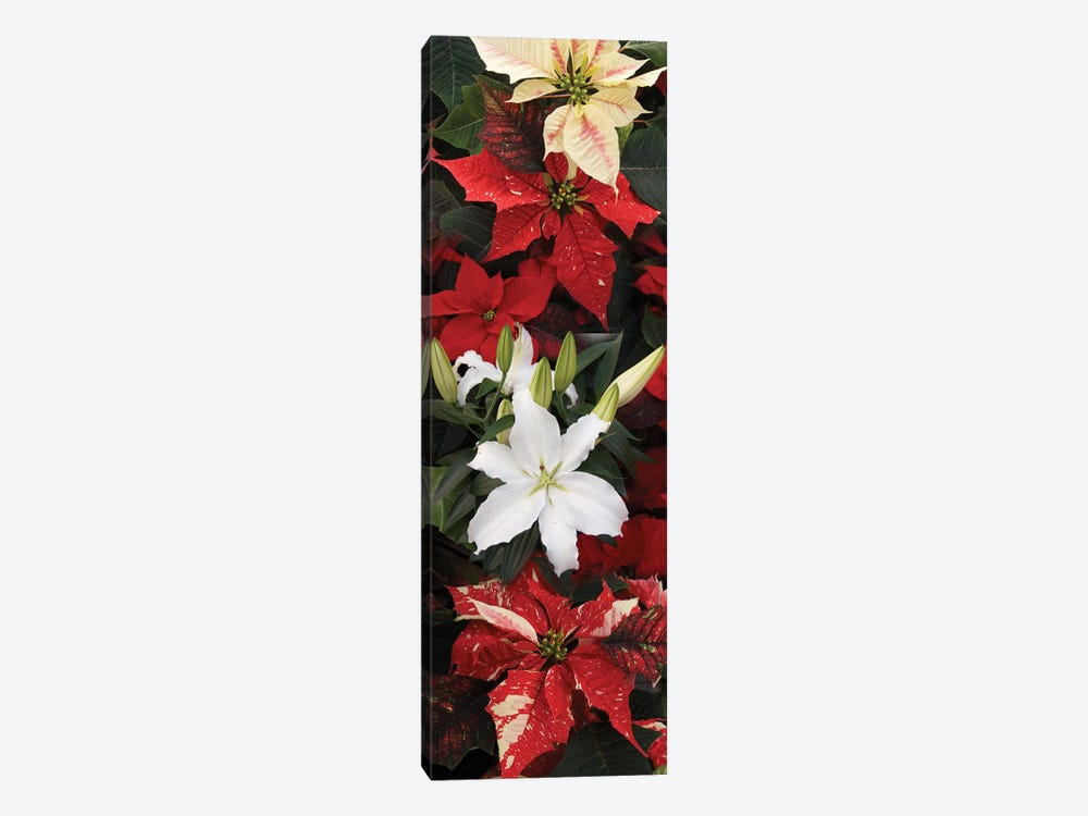 Close-Up Of Poinsettia Flowers VII by Panoramic Images 1-piece Canvas Art