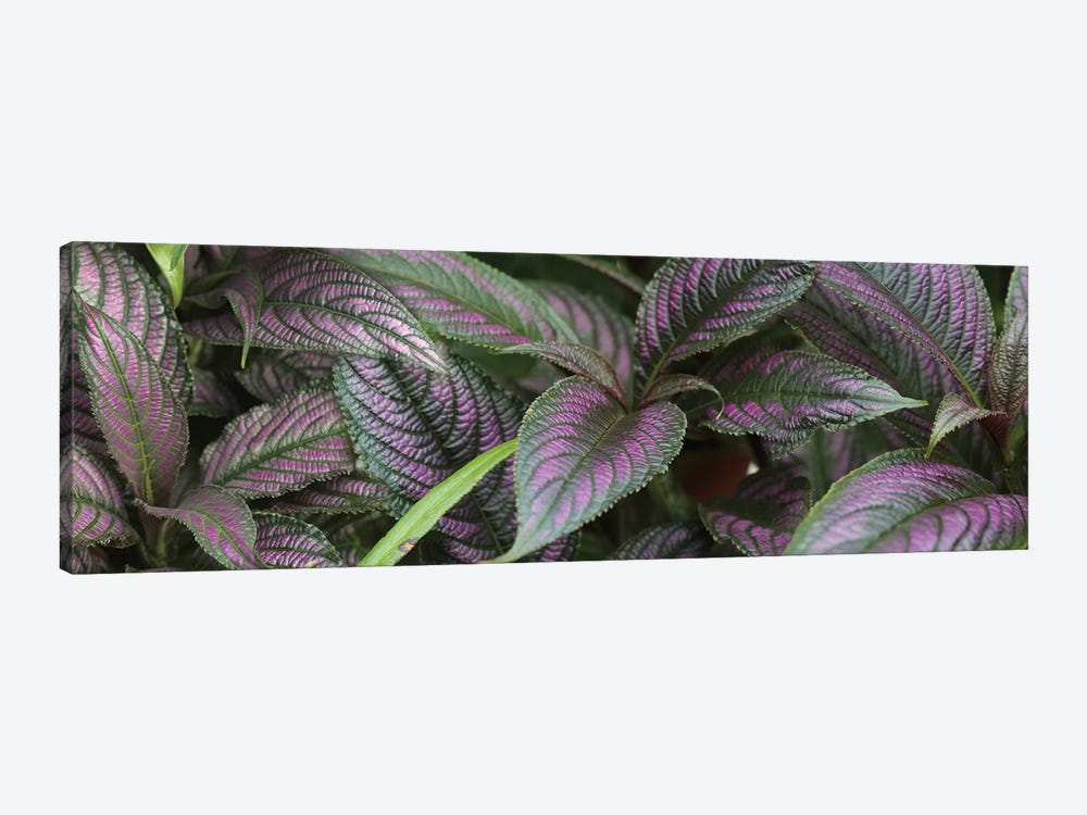 Close-Up Of Purple And Green Coleus Leaves by Panoramic Images 1-piece Canvas Art Print