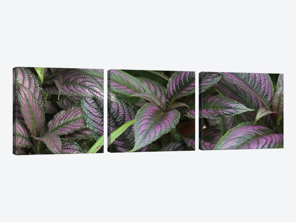 Close-Up Of Purple And Green Coleus Leaves by Panoramic Images 3-piece Canvas Art Print