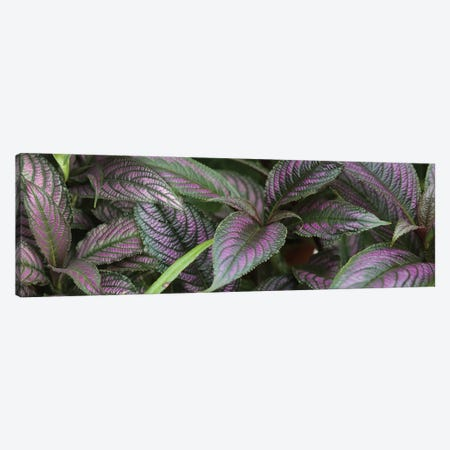 Close-Up Of Purple And Green Coleus Leaves 3-Piece Canvas #PIM14491} by Panoramic Images Canvas Art