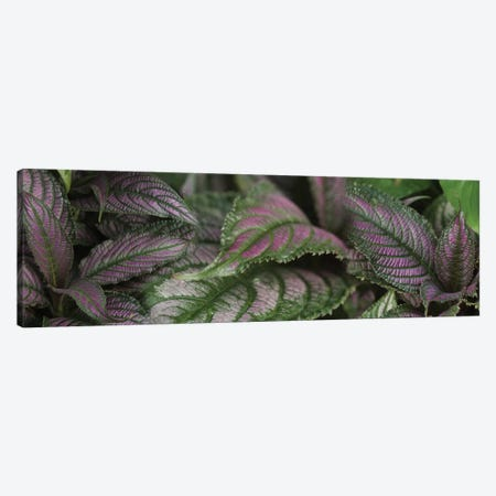 Close-Up Of Purple Leaves Canvas Print #PIM14492} by Panoramic Images Canvas Artwork