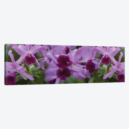 Close-Up Of Purple Orchid Flowers I Canvas Print #PIM14493} by Panoramic Images Canvas Wall Art