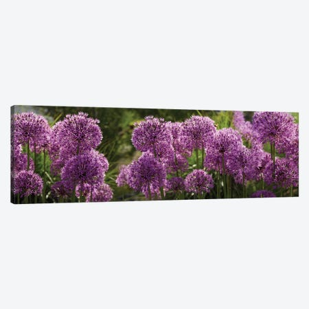 Close-Up Of Purple Puffball Allium Flowers Canvas Print #PIM14495} by Panoramic Images Art Print