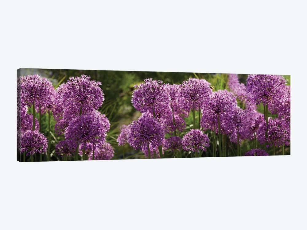 Close-Up Of Purple Puffball Allium Flowers by Panoramic Images 1-piece Canvas Art Print