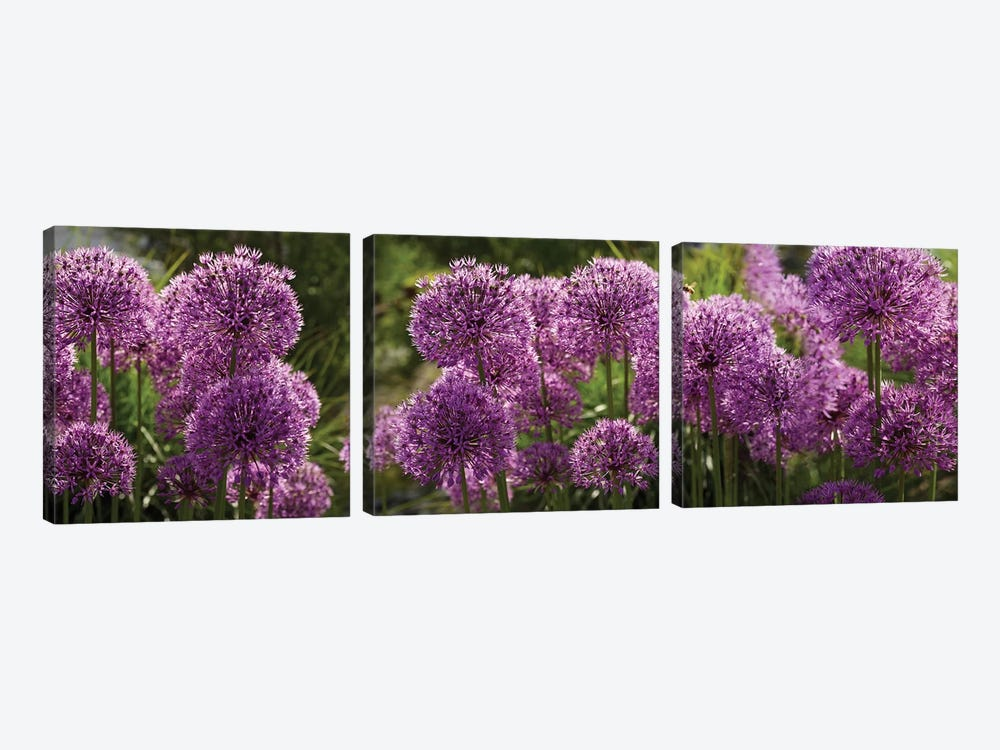 Close-Up Of Purple Puffball Allium Flowers by Panoramic Images 3-piece Canvas Print